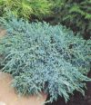 JUNIPERUS SQUAMATA ''BLUE CARPET''
